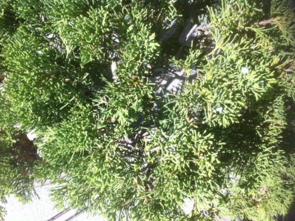 bonsai tree top down, photo by Tony Kovach