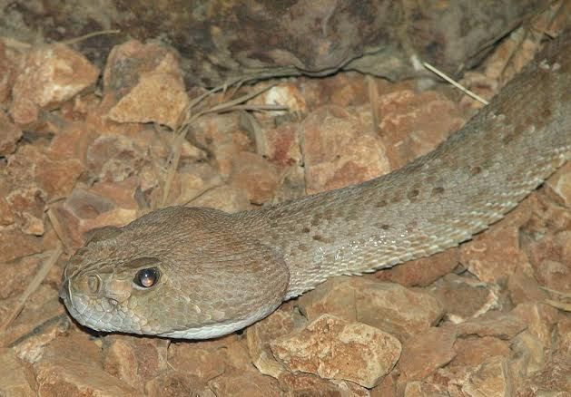 image=credit-wikicommons-red_diamondback_rattle_snake-posted-inspiration-blog-mhpronews-com